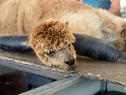 An alpaca prepared for shearing at a family farm in North Yorkshire, United Kingdom on 15th June 2017