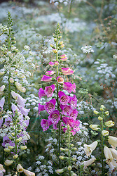 Digitalis purpurea - Foxglove.