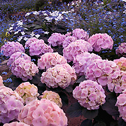 Pink hydrangeas surrounded by blue wildflowers. Photo by Adel B. Korkor.