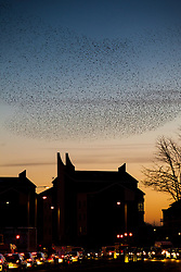 © Licensed to London News Pictures . 09/01/2013 . Belfast , UK . An impressive display by a huge flock of birds in the evening sunset above rush hour traffic in East Belfast this evening (9th January 2013) . Photo credit : Joel Goodman/LNP