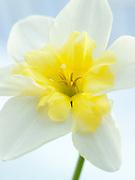 Narcissus 'Bella Estrella' - daffodil