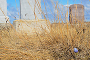 Prairie crocus (Anemone patens) in cemetary<br />Rosser<br />Manitoba<br />Canada