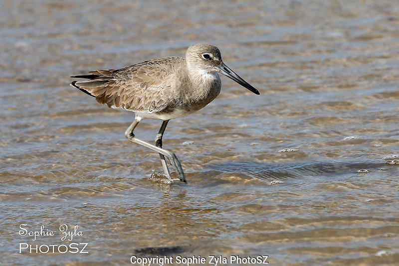 Willet on the move