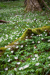 A carpet of Anemone nemorosa - Wood anemone, Wind-flower, Moonflower, Lady's nightcap - in a Gloucestershire woodland