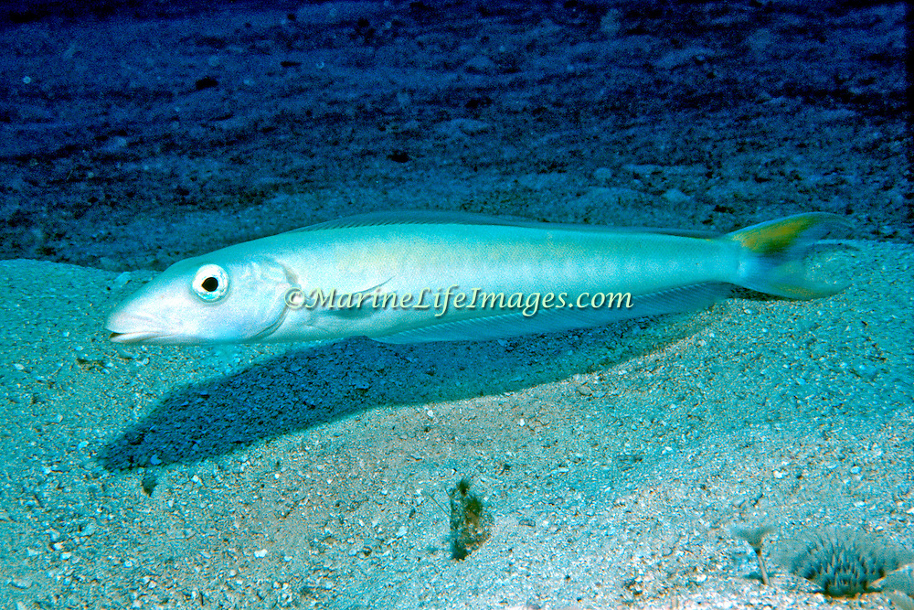 Sand Tilefish inhabit sand and rubble areas where they build burrows in the sand in Tropical West Atlantic; picture taken Grand Cayman.