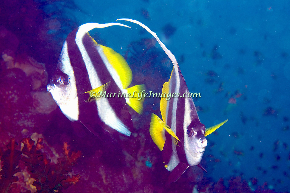 Longfin Bannerfish inhabit reefs and open water near reefs, often in pairs. Picture taken Triton Bay, West Papua, Indonesia.