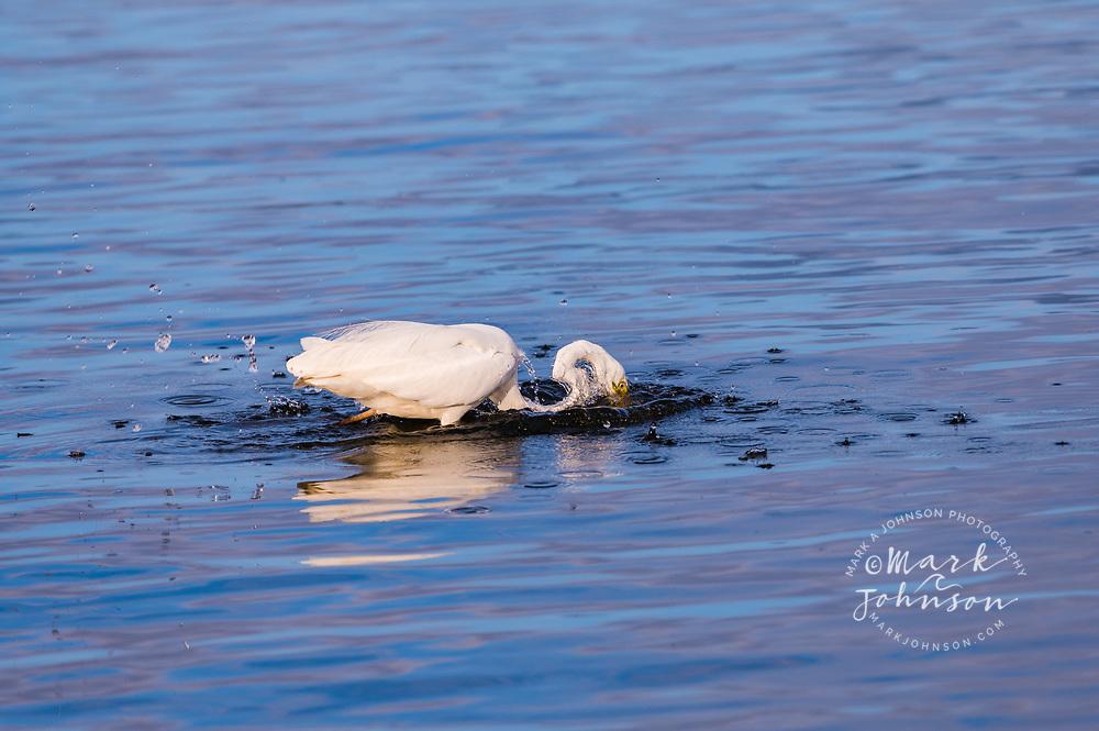 Pacific Reef Heron fishing, Pumicestone Passage, Caloundra, Sunshine Coast, Queensland, Australia