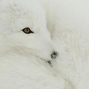 Arctic Fox (Alopex lagopus) along the ice edge of Hudson Bay, Cape Churchill, near Churchill, Manitoba, Canada.