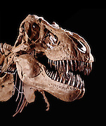 T. Rex was one of the largest-ever meat eating land animals.  The bi-pedal giant grew to some 40 ft (12 meters) weighed up to 7 US tons (6.5 metric tons) and sported teeth that were nearly a foot-long (centimeters) with the root.