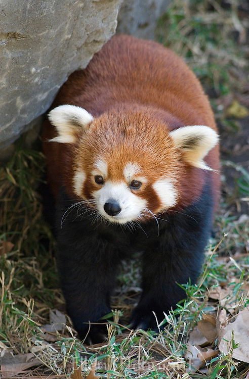 Red Panda (Ailurus fulgens) at the Central Park Zoo in New York City