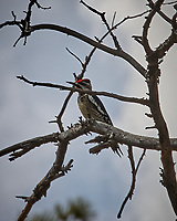 Red-naped Sapsucker. Rocky Mountain National Park, Colorado. Image taken with a Nikon D200 camera and 18-200 mm lens.