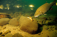 Smallmouth Bass about to attack crayfish<br /> <br /> ENGBRETSON UNDERWATER PHOTO
