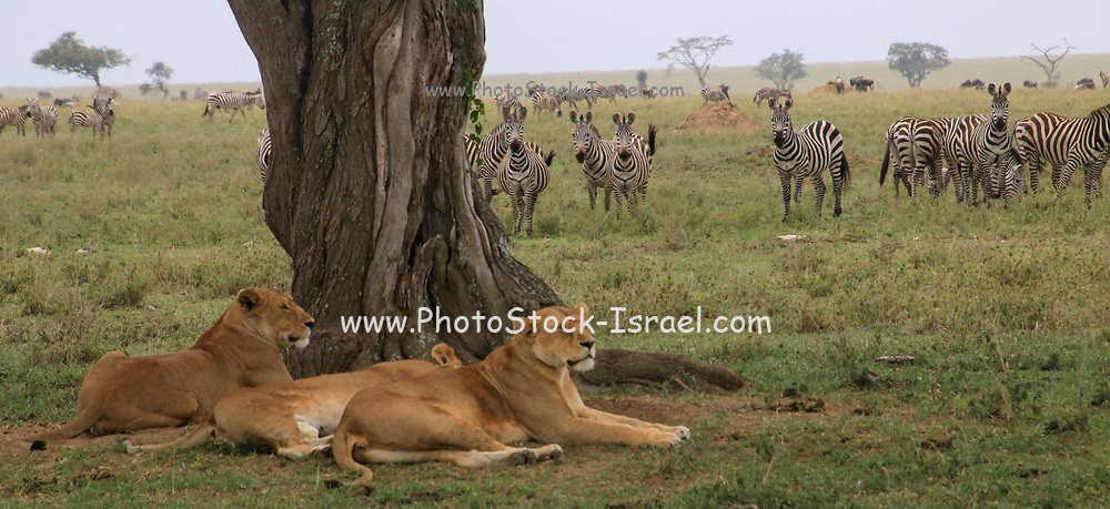 Lionesses rest in the shade. A large herd of zebras in the background. Photographed at Serengeti National Park, Tanzania