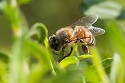 Bambui_MG, Brasil.<br /> <br /> Abelhas retirando a resina na plantacao de alecrim dourado (Rosmarinus officinalis) para a producao de propolis verde em Bambui, Minas Gerais.<br /> <br /> Bees removing the resin in the rosemary (Rosmarinus officinalis) plantation for production of green propolis in Bambui, Minas Gerais.<br /> <br /> Foto: ALEXANDRE MOTA / NITRO