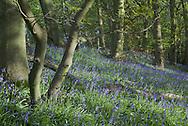 Derbyshire Bluebells