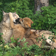Gray wolf (Canis lupus) mother with pups in the Rocky Mountains, Montana. Captive Animal