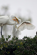 Stock photo of great egret chick captured in Florida.  Agression among chicks is common.  Larger chicks often kill their smaller siblings.