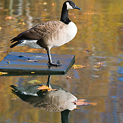 Canadian Goose with reflection at the Model Boat Pond in New York CIty's Central Park