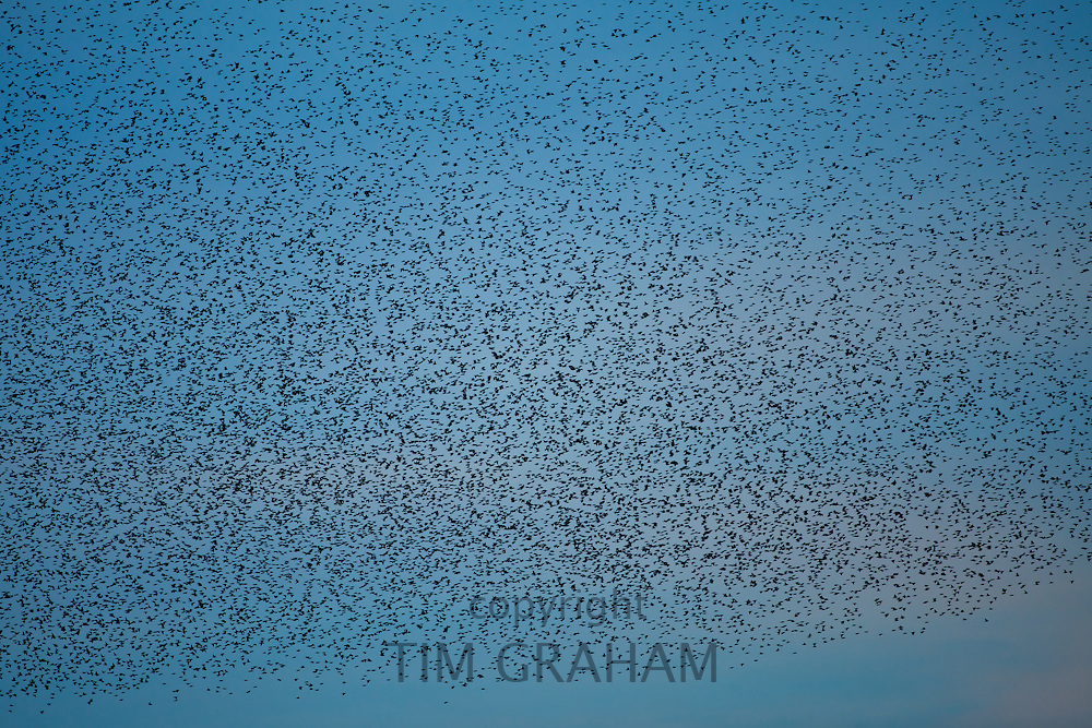 A murmuration of starlings, numbering well over a million birds, fill the sky as they prepare to roost at dusk on the Avalon Marshes at Shapwick Heath Nature Reserve in Somerset. Photograph by Tim Graham