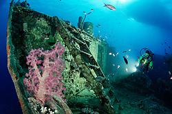Schiffswrack SS Thistlegorm, Taucher am Schiffs Wrack mit Weichkoralle im Vordergrund, Shipwreck SS Thistlegorm, Schuba diver on Ship wreck with soft coral in Front, Rotes Meer, Ägypten, Red Sea Egypt