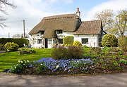 Pretty thatched whitewashed country cottage and garden in springtime, Cherhill, Wiltshire, England, UK