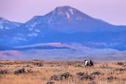 Sage Grouse near Zortman Montana.