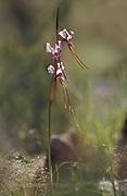 Purple Diuris Orchid, Diuris punctata, Canberra, Australia