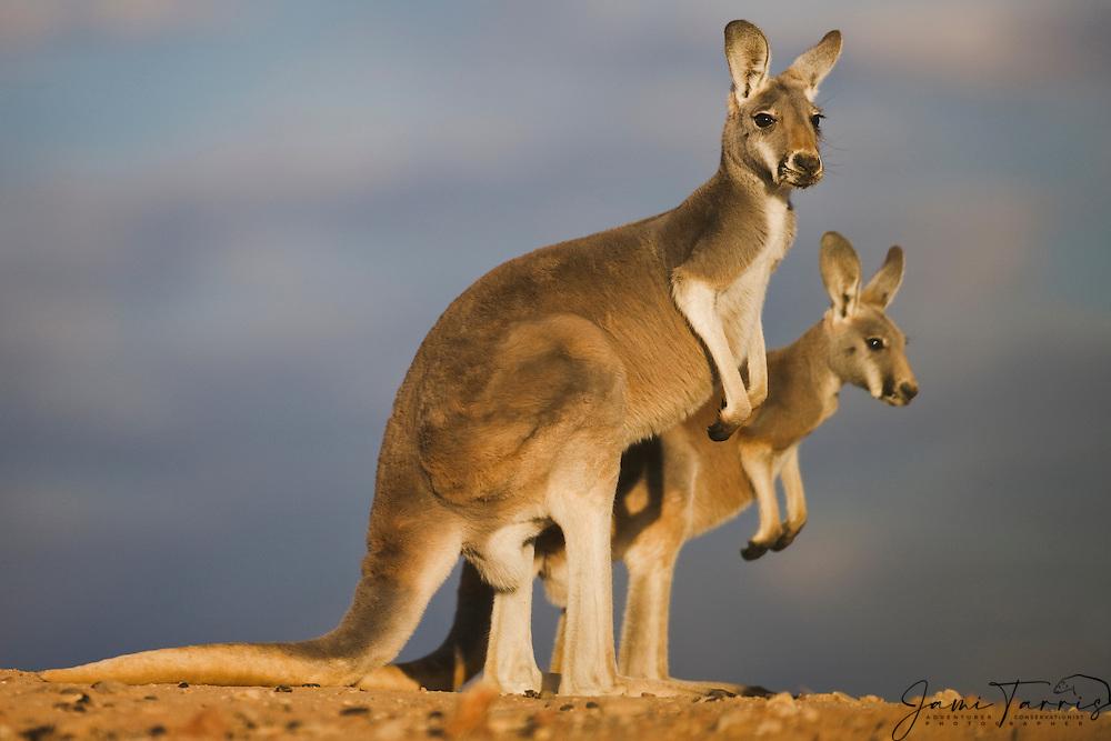 A female red kangaroo and her adolescent joey  (Macropus rufus)  standing on a ridge in evening light,  Sturt Stony Desert,  Australia