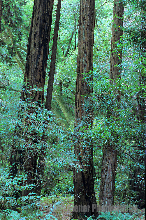 Old growth trees stand silently in the Muir Woods National Monument, California.