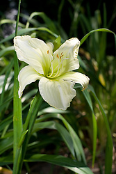 09 Jul 2011:  Lily bloom