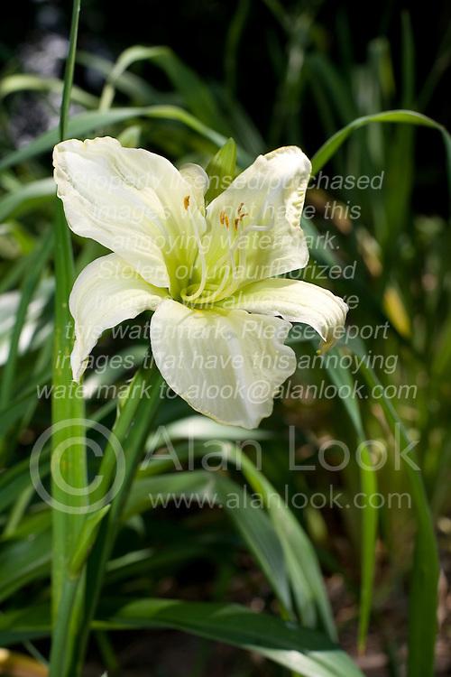 09 Jul 2011:  Lily bloom