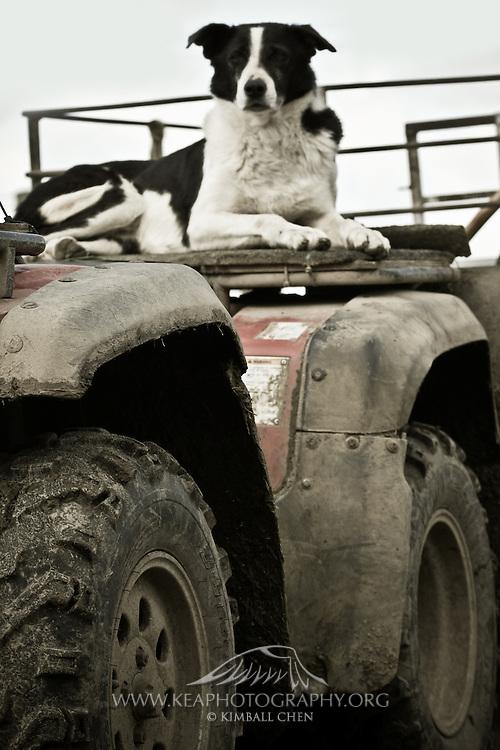 Sheepdog at the Farm, Southland, New Zealand