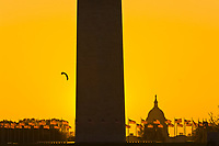 A kite floats in the sky next to the Washington Monument (with the U. S. Capitol on the right) at dawn during the Smithsonian Kite Festival, Washington D.C., U.S.A.