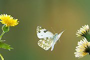 Bath White Butterfly, Pontia daplidice, South West Europe & North Africa, in flight, High Speed Photographic Technique, Free flying, occurs in the Palearctic region. It is common in central and southern Europe, migrating northwards every summer, often reaching southern Scandinavia and sometimes southern England.
