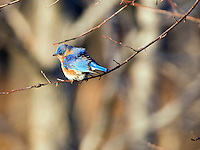 The Eastern Bluebird, Sialia sialis, is a medium-sized thrush found in open woodlands, farmlands and orchards. The Bluebird is the state bird of Missouri and New York.