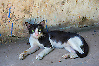 Inde, Etat du Kerala, Kochi ou Cochin, Fort Cochin le centre historique, Chat // India, Kerala State, Fort cochin or Kochi, Cat