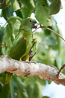 Blue-fronted Amazon Parrot (Amazona aestiva),  The Pantanal, Mato Grosso, Brazil