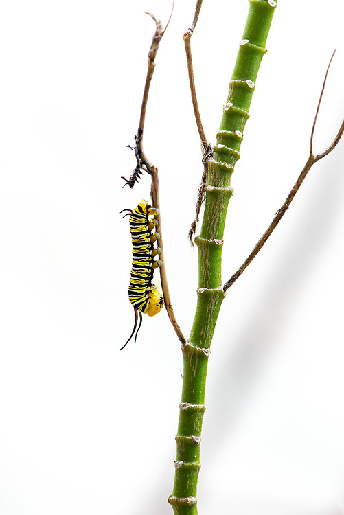 Caterpillars go through five stages of growth called instars. They shed their skin or molt five times before becoming a chrysalis. Each time they molt, they progress to the next instar. The caterpillar will either digest, reabsorb or shed the skin.