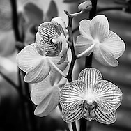 A black and white image of striped phalaenopsis orchid flowers brings out the detailed texture and pattern of their vein-like markings