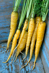 Carrot 'Yellow Stone' in a blue trug
