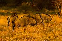 Blue wildebeest (gnu), Etosha National Park, Namibia
