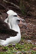 Laysan albatrosses, Phoebastria immutabilis, Sand Island, Midway Atoll, Midway National Wildlife Refuge, Papahanaumokuakea Marine National Monument, Northwest Hawaiian Islands, USA ( North Pacific Ocean ); tip of upper bill of closest bird is broken off
