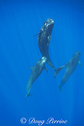 adult and juvenile short-finned pilot whales, Globicephala macrorhynchus, socializing in open ocean, Kona, Hawaii ( the Big Island ), U.S.A. ( Central Pacific Ocean )