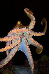 day octopus, Octopus cyanea, Oahu, Hawaii, USA (c)