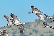 Common Crane (Grus grus) a flock in flight in wetland, This bird is a Large migratory crane species that lives in wet meadows and marshland. Photographed in the hula valley, israel