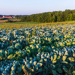 A field of cabbage on a farm on Kinney Hill in South Hampton, New Hampshire.