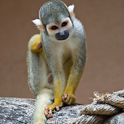 Portrait of a Common Squirrel Monkey (Saimiri sciureus) which is native to South America
