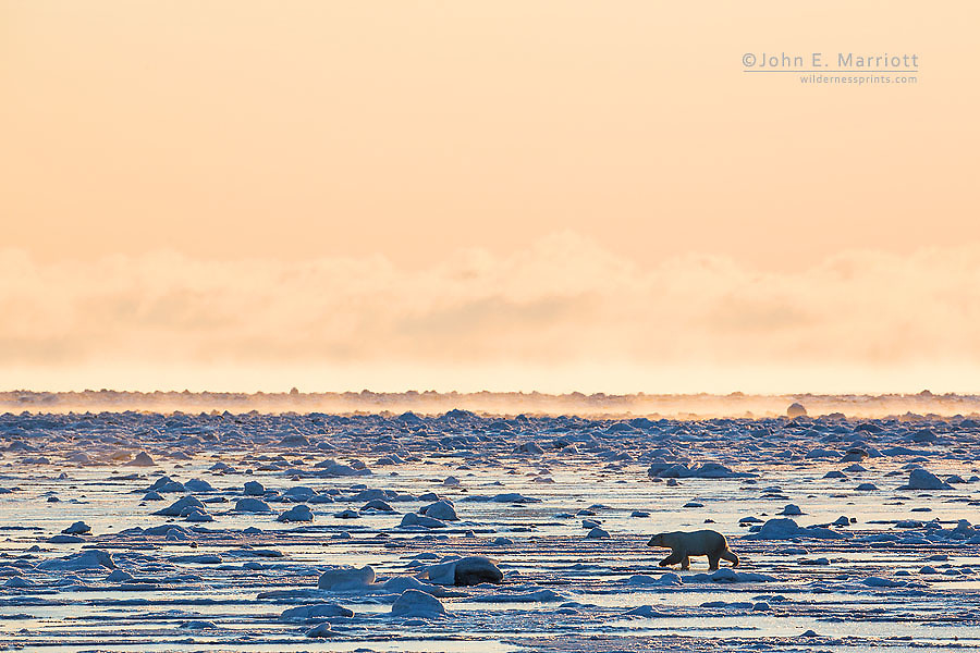 Polar bear on Hudson Bay at sunrise, Nunavut, Canada
