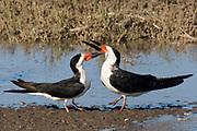 Black Skimmers fighting.(Rynchops niger).Back Bay Reserve, California