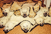 Polar bear pelts, shot in Canada under Inuit permit? on sale in shop Longyearbyen, Svalbard, Norwegian Arctic